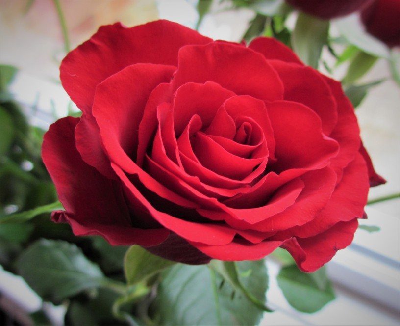 So That S Why Valentine S Day Special 12 Red Roses So That S Why